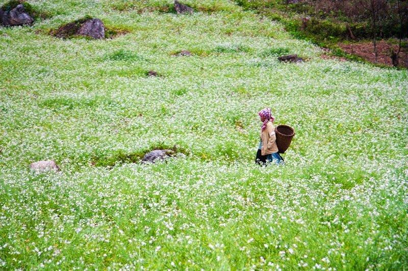 Mùa hoa cải trắng