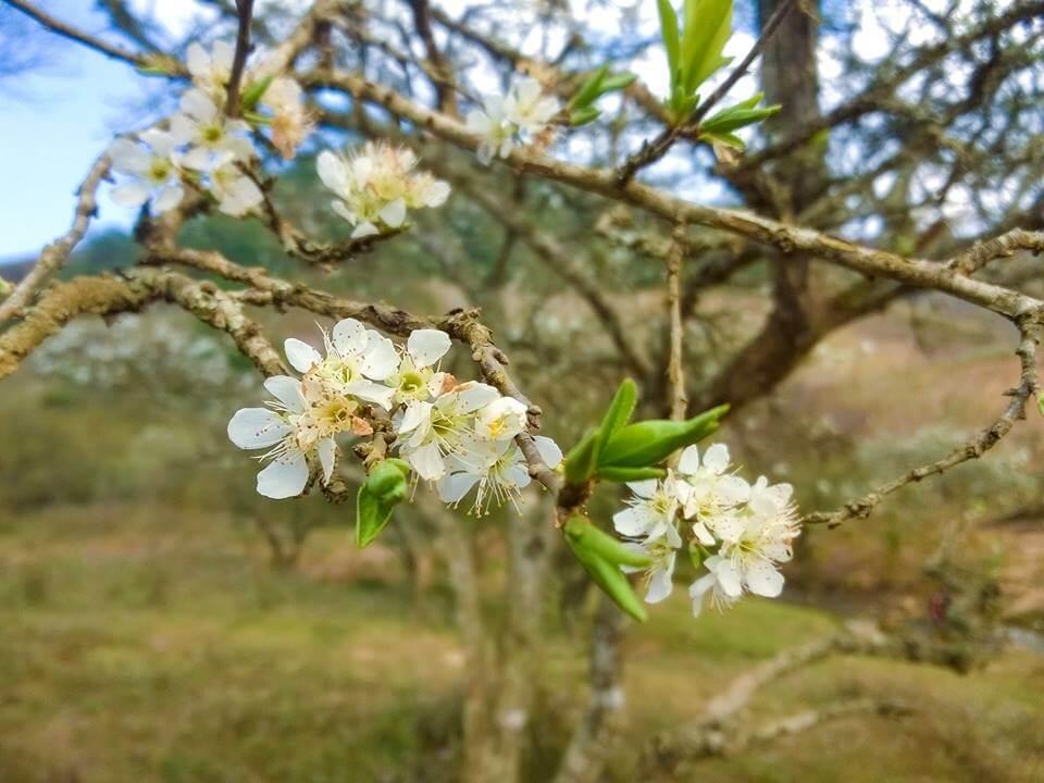 Mộc Châu mùa hoa mận trắng tinh