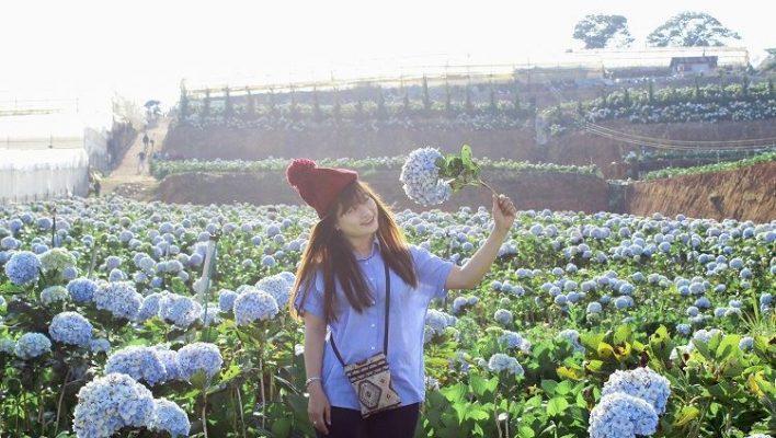 Cánh đồng hoa Cẩm tú cầu ở Đà Lạt cuốn hút bao du khách ( ảnh sưu tầm internet)