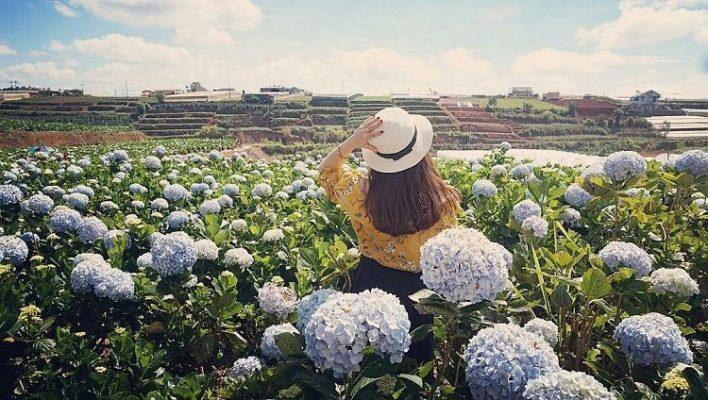 Cánh đồng hoa cẩm tú cầu đủ màu sắc đẹp rực rỡ ( ảnh sưu tầm internet)