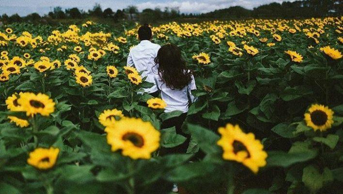 Cánh đồng hoa hướng dương tuyệt đẹp như trong phim Hàn Quốc ( ảnh sưu tầm)