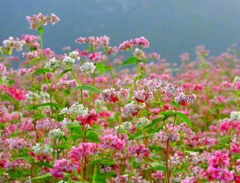 Hoa tam giác mạch với sắc tím yêu thương, xao xuyến tâm hồn ( ảnh sưu tầm internet)