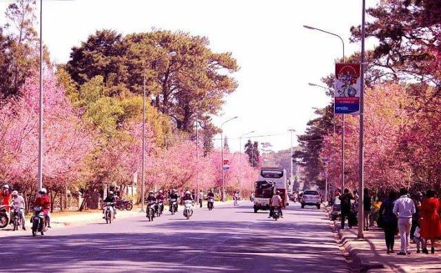 Đường Trần Hưng Đạo- nơi lí tưởng ngắm hoa mai anh đào tại Đà Lạt (ảnh sưu tầm)