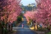 Rực rỡ sắc hoa Mai Anh Đào ở Đà Lạt khi xuân về