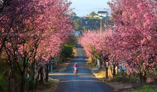 Dốc Đa Qúy Đà Lạt rực sắc hoa anh đào (ảnh sưu tầm)