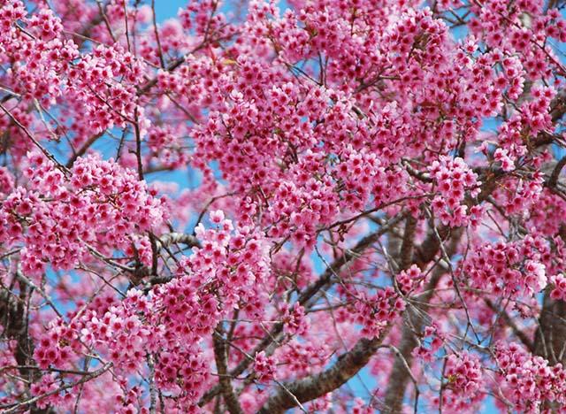 Hoa mai anh đào rực rỡ khắp nơi ở Đà Lạt khi mùa xuân về (ảnh sưu tầm)