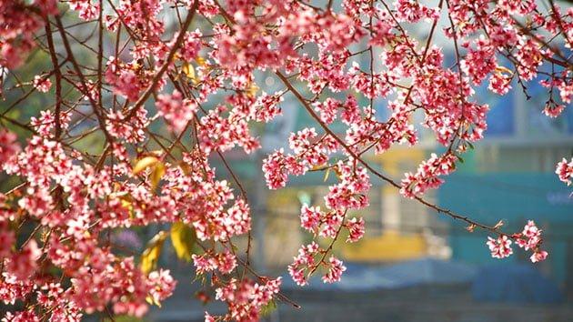 Hoa mai anh đào ven hồ đẹp như tranh vẽ( ảnh sưu tầm)