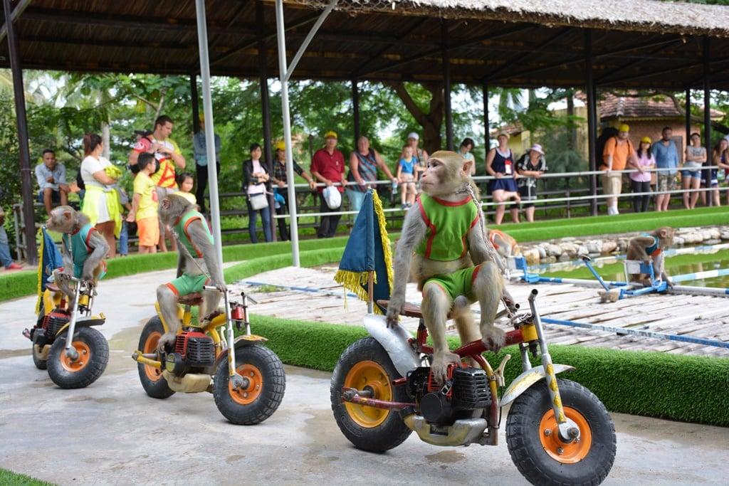 Khỉ đi xe mô tô rất ngộ nghĩnh ( ảnh sưu tầm)