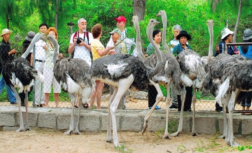 Những chú đà điểu ở đảo Hoa Lan ( ảnh sưu tầm)