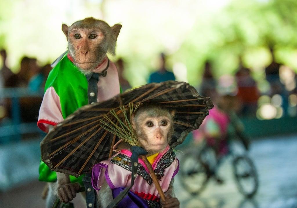 Những chú khỉ trình diễn như nghệ sĩ ( ảnh sưu tầm)