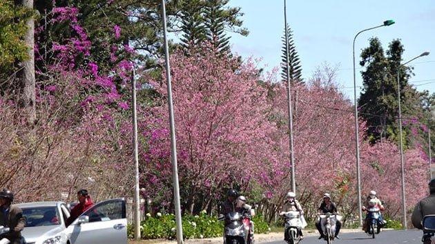 Những con đường ở Đà Lạt đầy sắc hoa mai anh đào (ảnh sưu tầm)