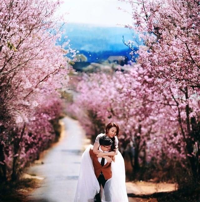 Phố hoa mai anh đào nơi lưu tấm hình cưới đẹp tuyệt (ảnh sưu tầm)