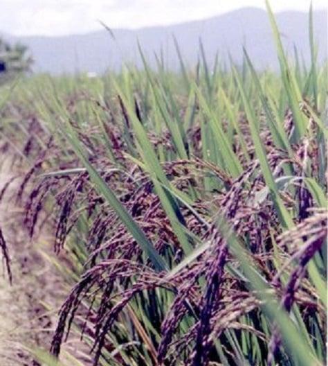 Ruộng lúa nếp cẩm ( ảnh sưu tầm)