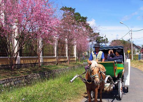 Thong dong xe ngựa ngắm hoa mai anh đào ở Đà Lạt (ảnh sưu tầm)