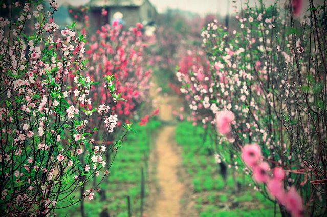 Những điểm ngắm hoa - du xuân đẹp nhất ở Hà Nội