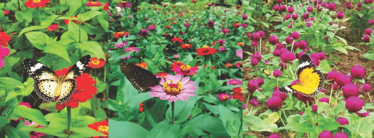 vườn hoa và các loài bướm ở Nha Trang ( ảnh sưu tầm)