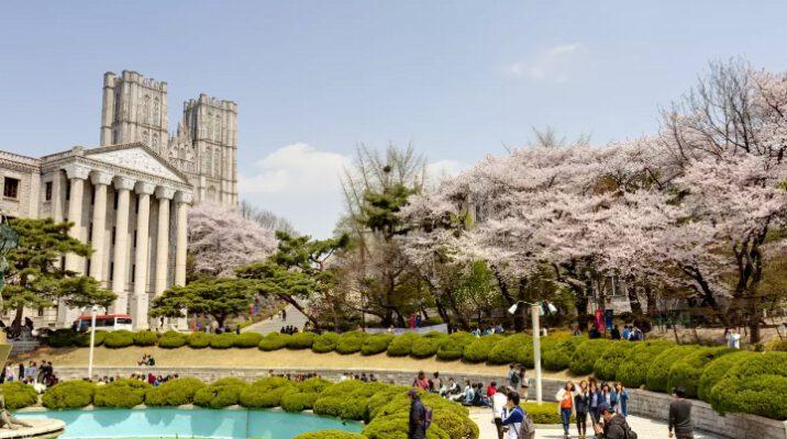 Điểm ngắm hoa anh đào ở Hàn Quốc (ảnh internet)