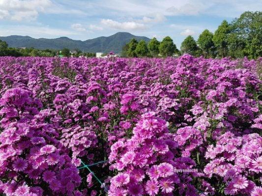 Hoa Thạch Thảo cực đẹp ở Vũng Tàu (ảnh internet)