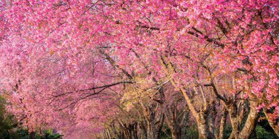 Hoa anh đào ở Chiang Mai đẹp như tranh (anh internet)