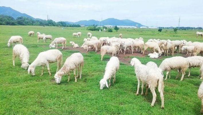 Ngắm nhìn đàn cừu ăn cỏ (ảnh internet)