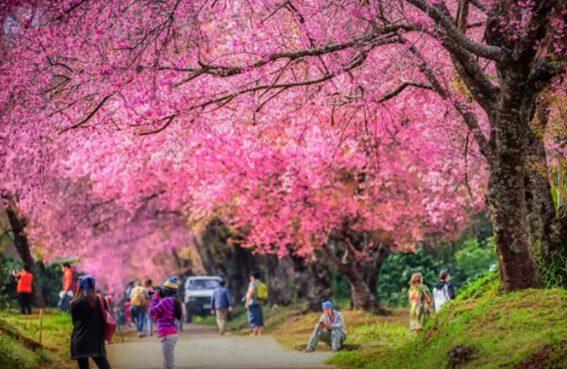 Thung lũng hoa anh đào ở Chiang Mai (ảnh internet)
