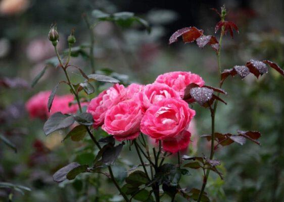 Bông hồng khoe sắc đẹp tuyệt (ảnh internet)