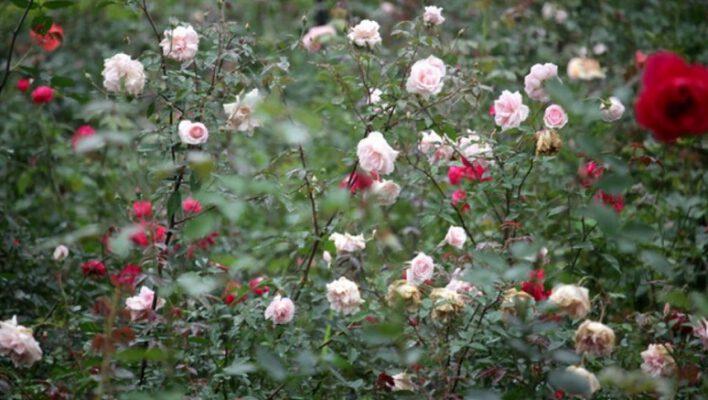 Các loài hoa hồng khoe sắc trong nắng xuân