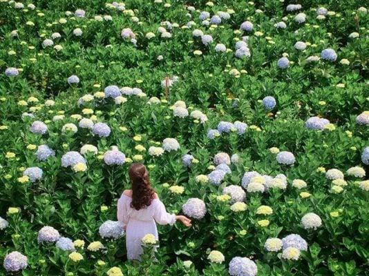 Vườn hoa cẩm tú cầu rộng bát ngát (ảnh internet)