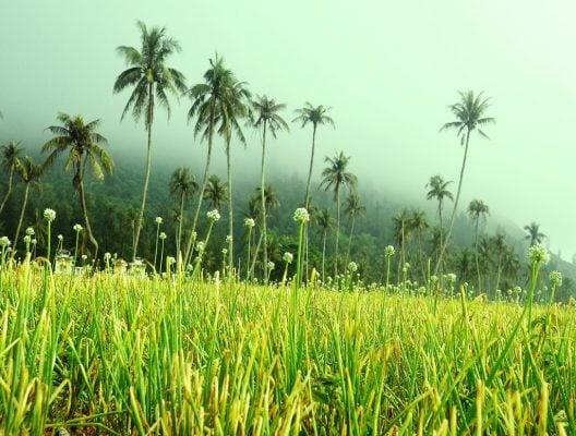 Cánh đồng tỏi ở đảo Lý Sơn (ảnh sưu tầm )