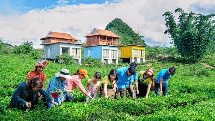 Trải nghiệm hái chè tại cao nguyên Mộc Châu (ảnh internet)