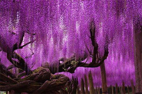 Cây hoa 144 tuổi hoa nở buông xuống như dải lụa tím (ảnh internet)