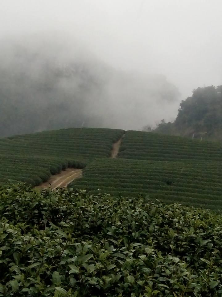 Đồi chè trong sương mù đẹp tuyệt ( ảnh Thùy Dương )