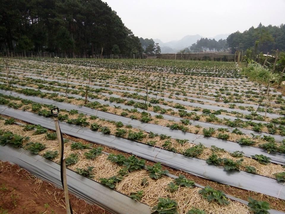 Vườn dâu tây ở trang trại Chimi (ảnh Thùy Dương)