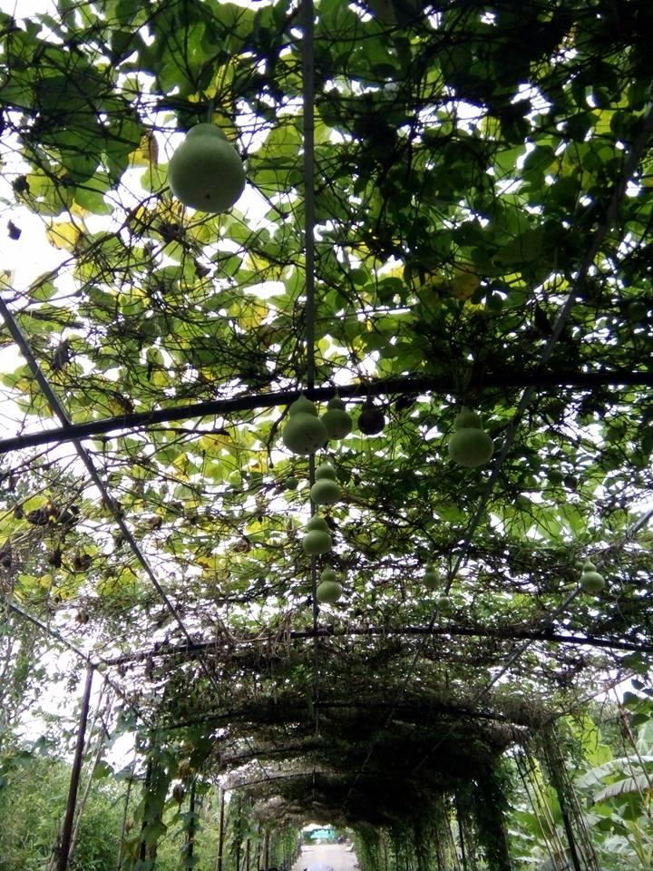 Ngắm nhìn vườn cây trái sum suê (ảnh Thùy Dương )