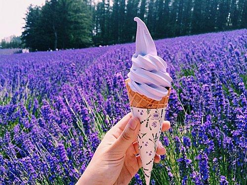Cánh đồng hoa Lavender ở nông trại Tomita. Ảnh: Tugo
