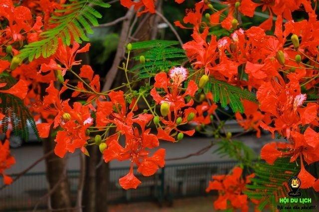 Rạo rực ngắm phố phường Hà Nội mùa phượng vĩ đơm hoa