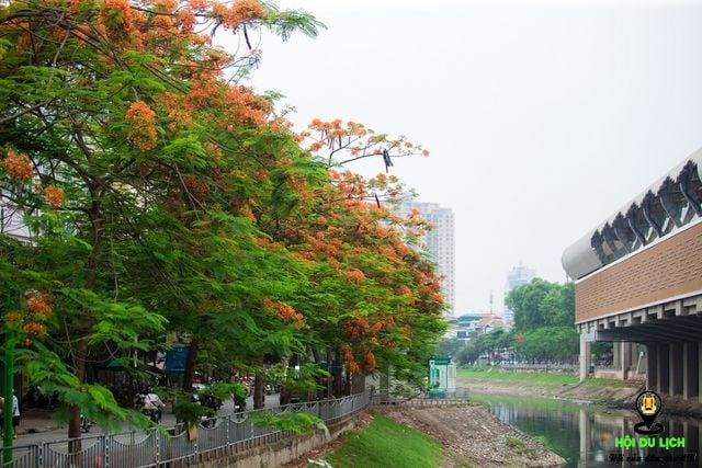 Rạo rực ngắm phố phường Hà Nội mùa phượng vĩ đơm hoa - 3