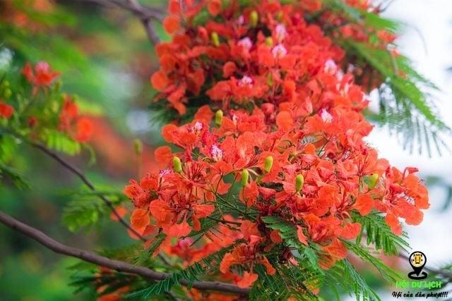 Rạo rực ngắm phố phường Hà Nội mùa phượng vĩ đơm hoa - 4