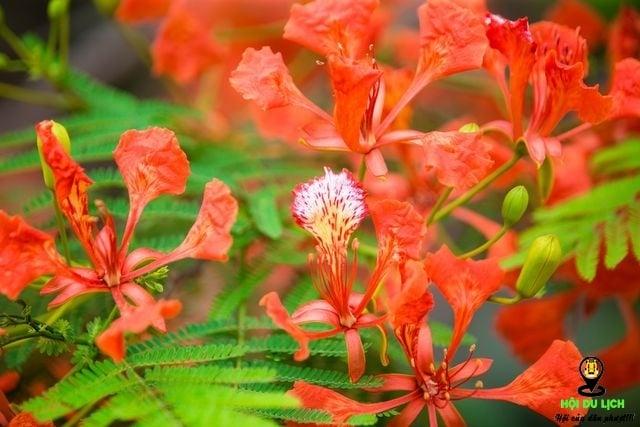 Rạo rực ngắm phố phường Hà Nội mùa phượng vĩ đơm hoa - 5
