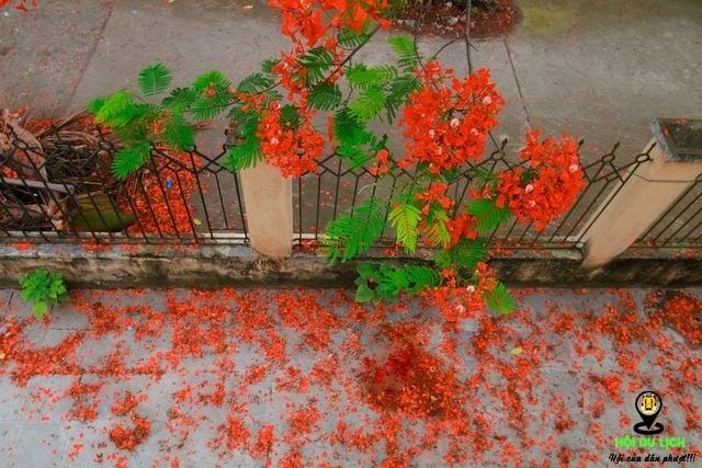 Rạo rực ngắm phố phường Hà Nội mùa phượng vĩ đơm hoa - 6
