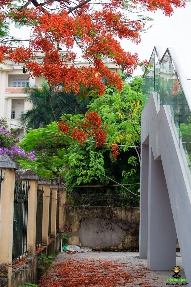 Rạo rực ngắm phố phường Hà Nội mùa phượng vĩ đơm hoa - 8