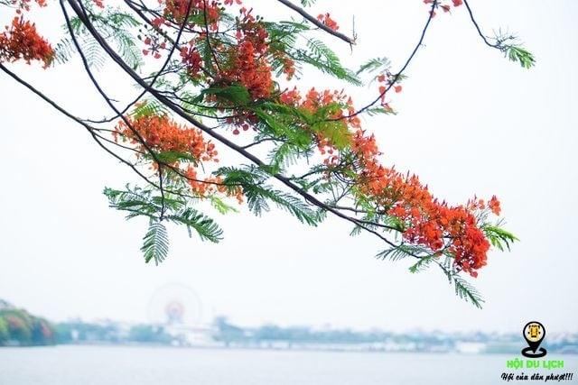 Rạo rực ngắm phố phường Hà Nội mùa phượng vĩ đơm hoa - 9