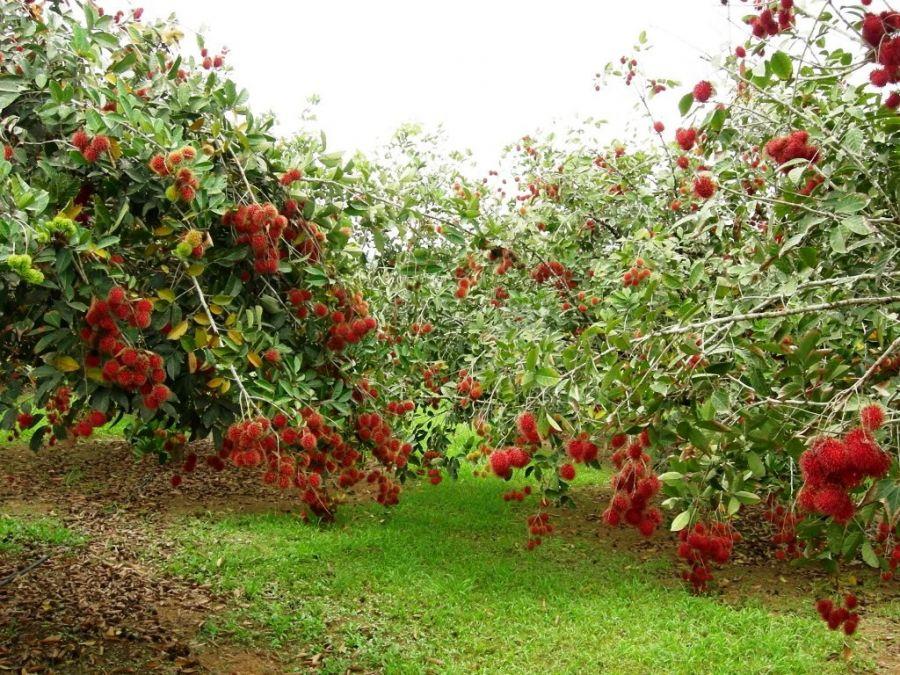 Vườn trái cây Cù lao An Bình, Vĩnh Long