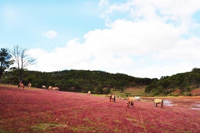 Đồi cỏ hồng tuyệt đẹp làm xốn xang bao con tim.