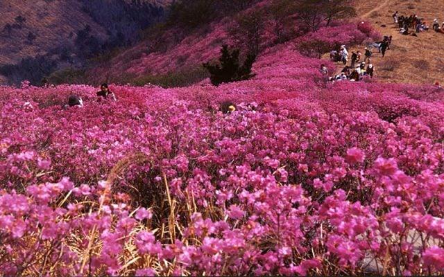 Hoa đỗ quyên nở đỏ rực cả khu rừng ở Quý Trâu(ảnh sưu tầm)