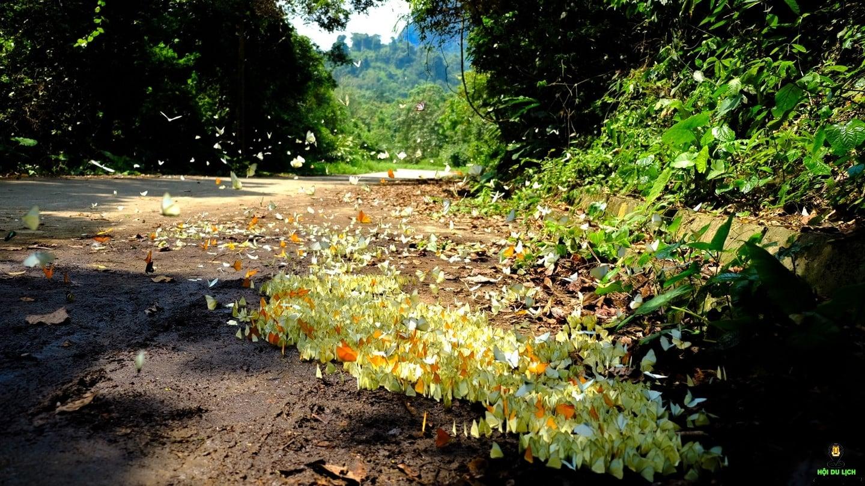 """Mùa bướm dệt nên những """"trang thơ"""" ở vườn quốc gia Cúc Phương."""