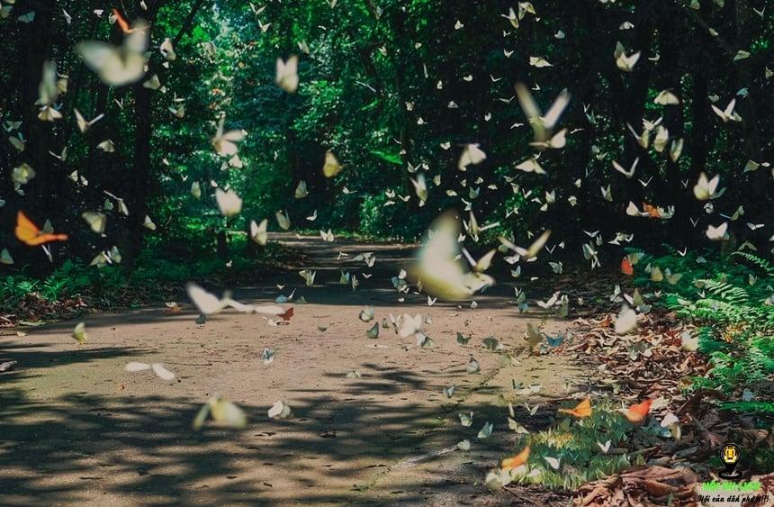 Mùa bướm Cúc phương nổi tiếng thế giới