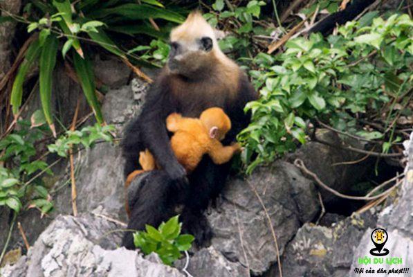 Những chú khỉ ngộ nghĩnh ở đảo Cát Bà