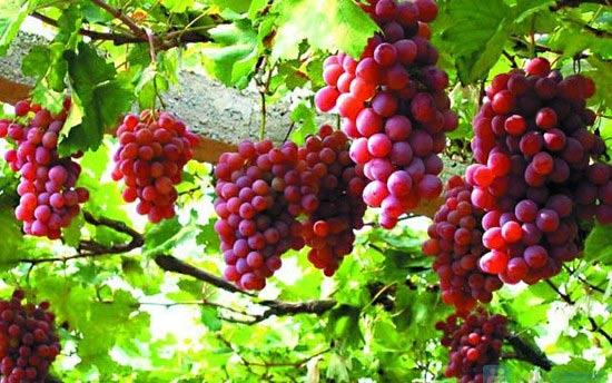 Những qủa nho chín mọng trong vườn mùa thu hoạch (ảnh sưu tầm)