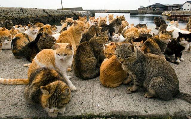 Đảo mèo Tashirojima ở Nhật (ảnh st)